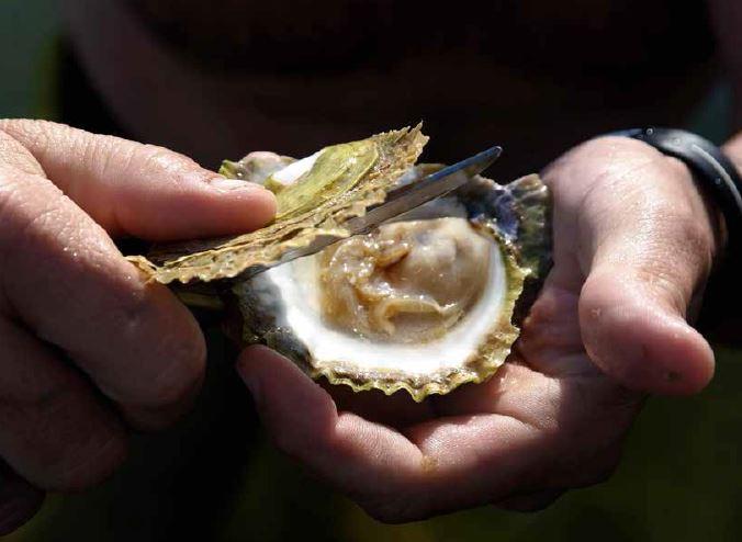 hvor finner man østers i norge